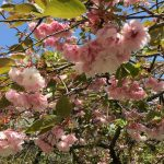 美の山(蓑山)公園登山で花見&羊山公園の芝桜で桜祭りツアー!