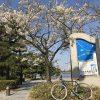 「桜サイクリング」東京花見スポット11ヵ所を自転車で巡る旅