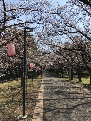 桜サイクリング4