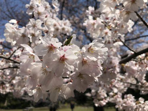 桜サイクリング17