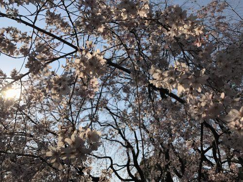 桜サイクリング30